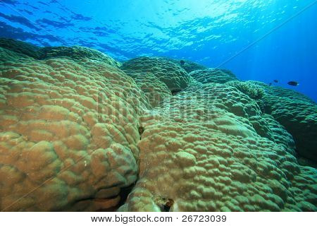 Large Mountain Coral (Porites lutea)