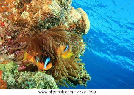 Bubble Anemone and pair of Red Sea Anemonefishes