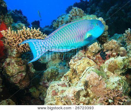 Red Sea Steephead Parrotfish (Chlorurus gibbus)