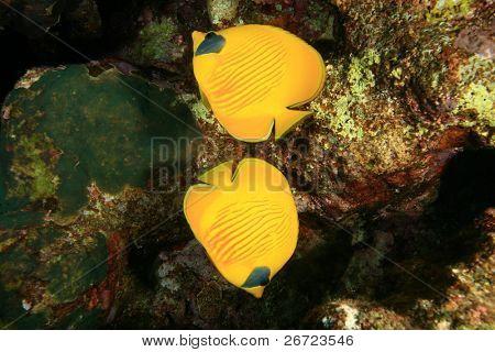 Pair of Masked Butterflyfish (Chaetodon semilarvatus)