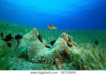 Haddon's Anemone with Anemonefishes and Damselfishes
