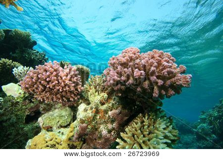 Colorful pink Acropora corals