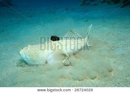 Whitemargin Stargazer (Uranoscopus sulphureus)
