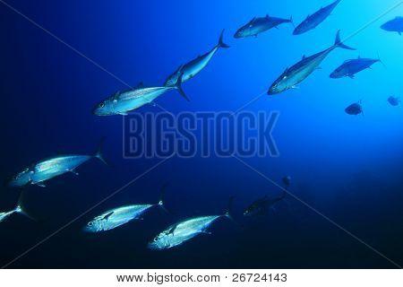 Shoal of Mackerel Tuna