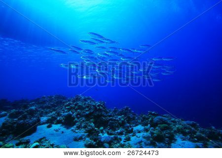 Shoal of Mackerel beneath fishing boat