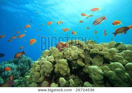 Dome Coral (Porites nodifera) and Lyretail Anthias