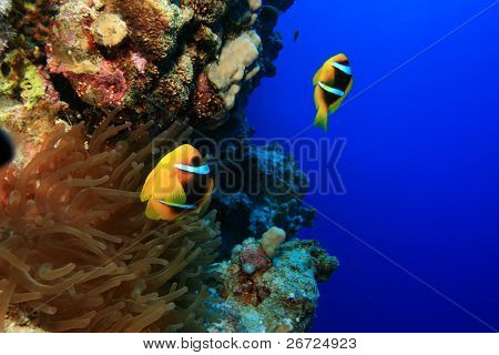 Bubble Anemone and pair of Red Sea Anemonefish