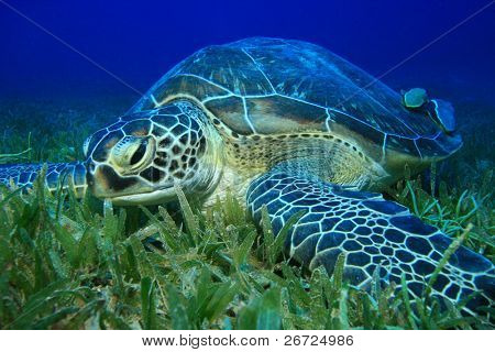 Green Turtle (Chelonia mydas) feeding on sea grass
