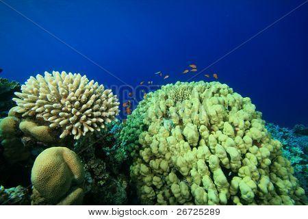 Acropora and Porites Hard Corals
