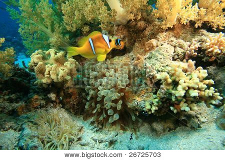 Red Sea Anemonefish in Bubble Anemone on coral reef