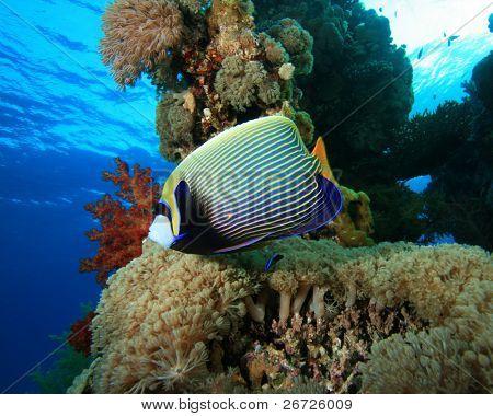 Emperor Angelfish on beautiful coral reef