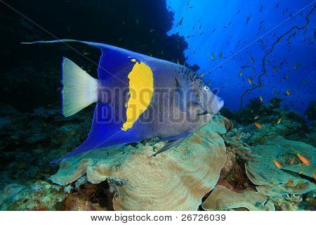 Yellowbar Angelfish (Pomacanthus maculosus) on a coral reef in the Red Sea, Egypt
