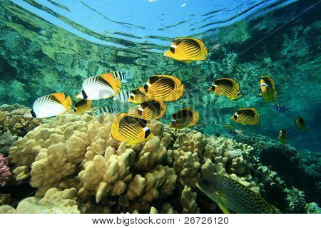 Tropical Fish and Coral Reef: Butterflyfish, Sergeant Major Fish, Unicornfish and Sweetlips
