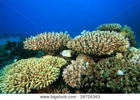 Acropora Hard Corals on a reef in the Red Sea