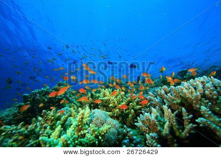 Coral Reef and Tropical Fish in the Red Sea, Egypt