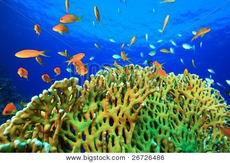 Lyretail Anthias and Damselfish on hard coral in clear blue water