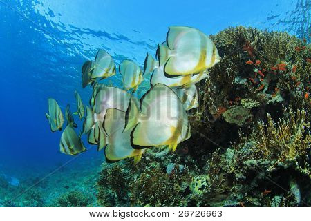 School of Longfin Spadefish (Batfish) (Platax teira) at Yolanda Reef, Ras Mohamed National Park, in the Egyptian Red Sea