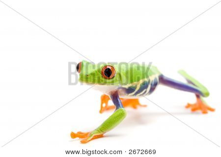 Frosch, Isolated On White
