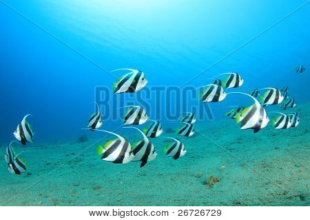 Shoal of Schooling Bannerfish