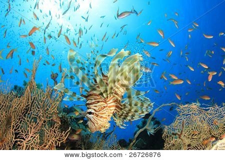 Lionfish (Pterois volitans) hunts Anthias Fish on coral reef