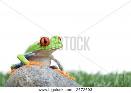 Red-Eyed Tree Frog On Rock