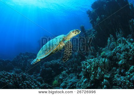 Hawksbill Turtle (Eretmochelys imbricata) on coral reef in sunlight