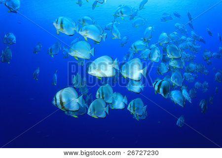 Shoal of Orbicular Spadefish (Platax teira) in blue sea