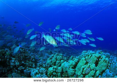 Large school of Longnose Parrotfish (Hipposcarus harid) swim over a coral reef during spawning season