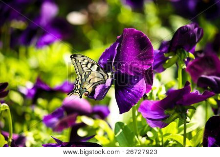 closeup of a beautiful  butterfly on a purple flower