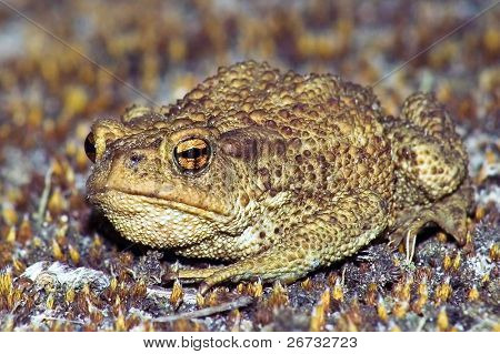 Big earth frog (bufonidae) sitting on brown moss