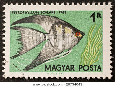 Hungria - CIRCA 1962: um selo imprimido na Hungria mostra de ilustração de um peixe-anjo - Pterophyllum s