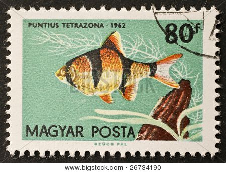HUNGARY - CIRCA 1962: a stamp printed in Hungary shows illustration of a Tiger Barb - Puntius tetrazona - species of tropical freshwater fish. Hungary, circa 1962