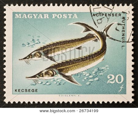 HUNGARY - CIRCA 1967: a stamp printed in Hungary shows illustration of Sterlet - Acipenser Ruthenus - a common eurasian species of Sturgeon. Hungary, circa 1967