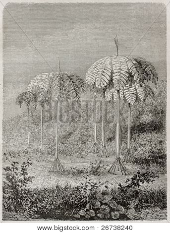 Old illustration of walking palm  (Socratea Exorrhiza)  in peruvian rainforest. Created by Riou, published on Le Tour du Monde, Paris, 1864
