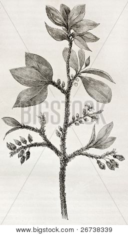 Old illustration of Erythroxylon coca, the plant containing Cocaine alcaloid. Created by Riou, published on Le Tour du Monde, Paris, 1864