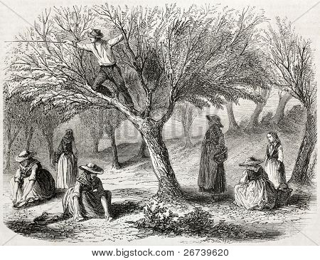 old illustration of olive harvesting near Toulon, France. Created by Gaildrau, published on L'Illustration Journal Universel, Paris, 1857