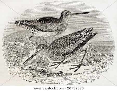 Old illustration of a Brown snipe (Scolopax grisea). By unidentified author, published on Magasin Pittoresque, Paris, 1850