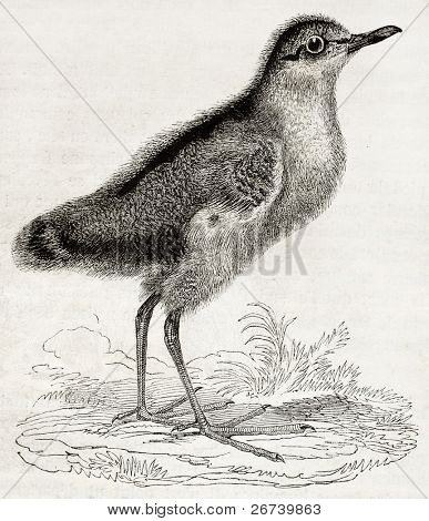 Old illustration of a Dunlin chick (Calidris alpina). By unidentified author, published on Magasin Pittoresque, Paris, 1850
