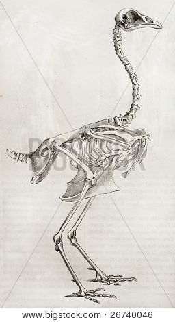 Old illustration of a cock's skeleton. By unidentified author, published on Merveilles de la Nature, Bailliere et fils, Paris, 1878