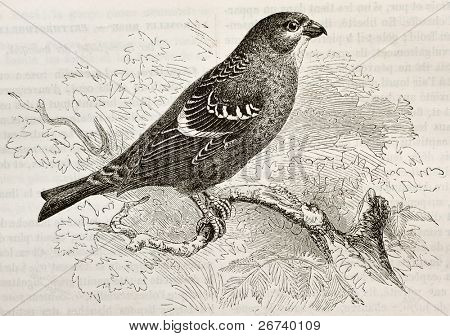 Old illustration of Pine Grosbeak (Pinicola enucleator). Created by Kretschmer and Niedermann, published on Merveilles de la Nature, Bailliere et fils, Paris, 1878