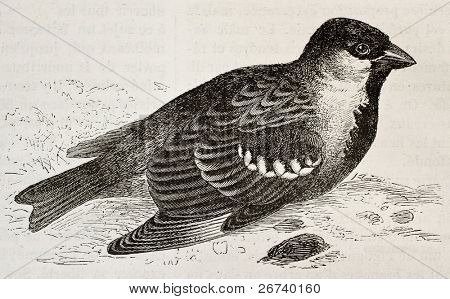 Old illustration of House Sparrow (Passer domesticus). Created by Wendt, published on Merveilles de la Nature, Bailliere et fils, Paris, 1878