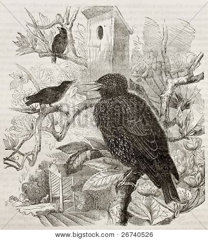 Old illustration of Common Starling (Sturnus vulgaris). Created by Kretschmer and Jahrmargt, published on Merveilles de la Nature, Bailliere et fils, Paris, 1878