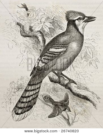 Old illustration of Blue Jay (Cyanocitta cristata). Created by Kretschmer and Jahrmargt, published on Merveilles de la Nature, Bailliere et fils, Paris, 1878