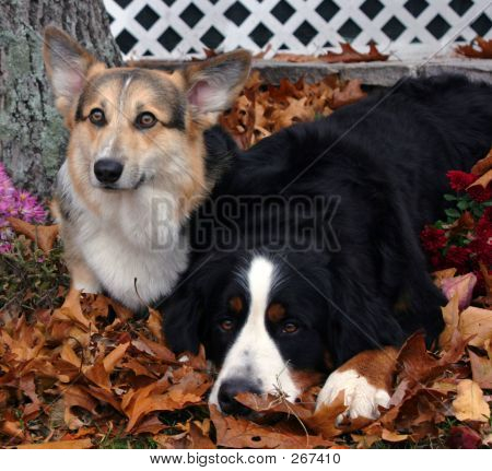 Corgi And Bernese Mountain Dog