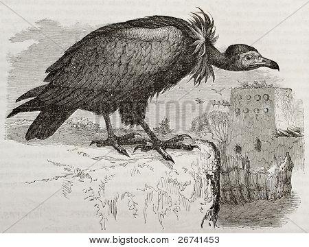 Old illustration of Hooded Vulture (Necrosyrtes monachus). Created by Kretschmer and Jahrmargt, published on Merveilles de la Nature, Bailliere et fils, Paris, 1878
