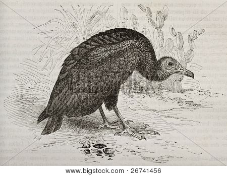 Old illustration of Turkey Vulture (Cathartes aura). Created by Kretschmer and Illner, published on Merveilles de la Nature, Bailliere et fils, Paris, 1878