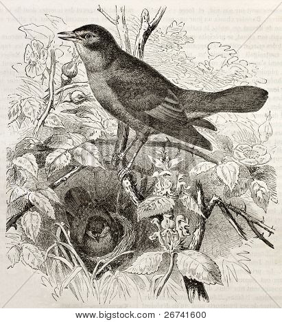 Nightingale old illustration (Luscinia megarhynchos). Created by Kretschmer and Illner, published on Merveilles de la Nature, Bailliere et fils, Paris, 1878