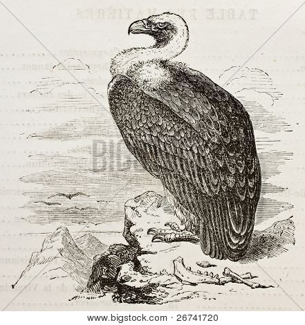 Griffon Vulture old illustration (Gyps fulvus). Created by unidentified author, published on Merveilles de la Nature, Bailliere et fils, Paris, 1878