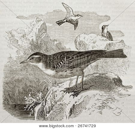Water Pipit old illustration (Anthus spinoletta). Created by Kretschmer, published on Merveilles de la Nature, Bailliere et fils, Paris, 1878