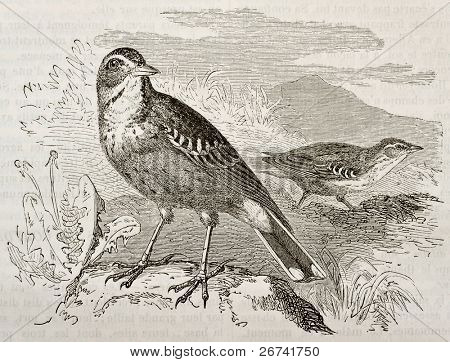 Tawny Pipit old illustration (Anthus campestris). Created by Kretschmer, published on Merveilles de la Nature, Bailliere et fils, Paris, 1878